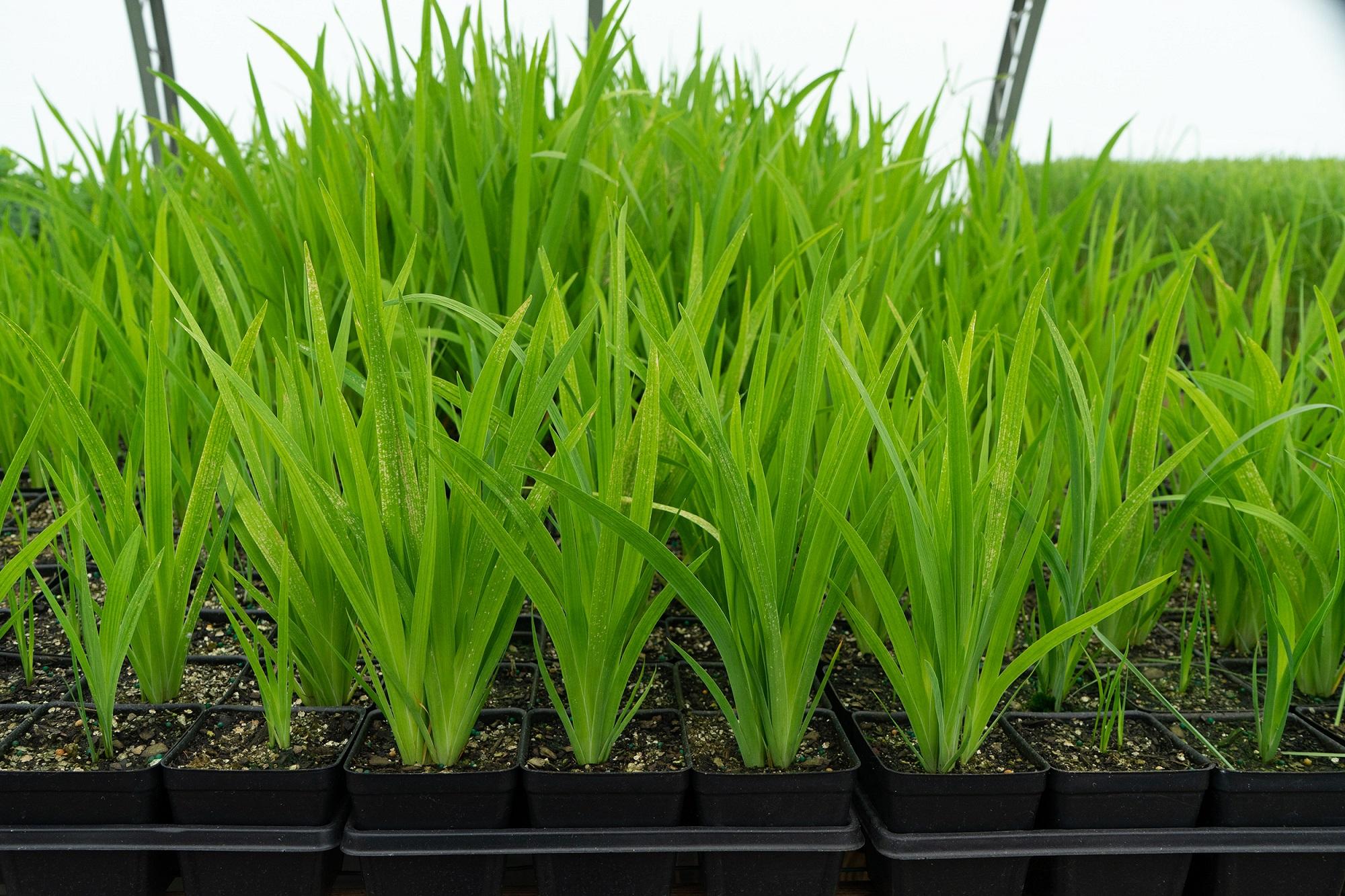Iris versicolor small container